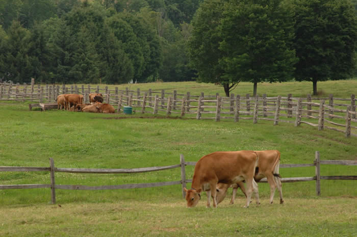 Jersey cows at Billings Farm and Museum
