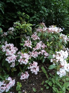 pink flowers of blooming mountain laurel